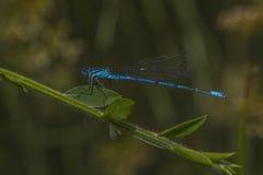 Damselfly azzurrato (puella di Coenagrion) Fotografia Stock Libera da Diritti