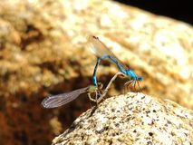 Damselfly. Beautiful blue damselfly mating on a rock Stock Photos