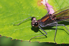 Damselfly beautiful demoiselle calopteryx virgo Royalty Free Stock Image