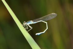 Damselfly. The damselfly is bending its tail on grass leaf Stock Photo