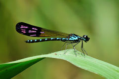 Damselfly bleu Photo libre de droits