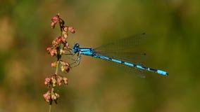 Damselfly bleu commun images libres de droits