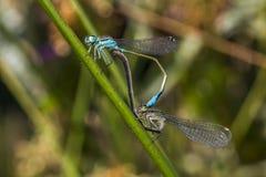 damselfly Bleu-coupé la queue (elegans d'Ischnura) Image libre de droits