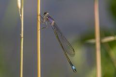 damselfly Bleu-coupé la queue (elegans d'Ischnura) Photographie stock