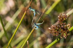 damselfly Bleu-coupé la queue (elegans d'Ischnura) Photos stock