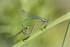 Damselfly bleu de featherleg Photos stock