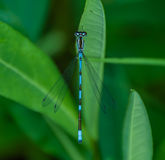 Damselfly bleu masculin Image stock