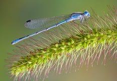 Damselfly bleu sur le vulpin photo libre de droits