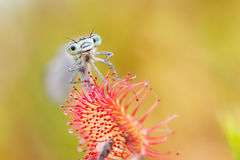 Damselfly blu bloccato in drosera Fotografie Stock