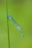 Damselfly blu comune (cyathigerum di Enallagma) Fotografia Stock
