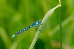 Damselfly blu maschio su una lama di erba Fotografie Stock