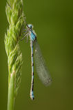 Damselfly Blu-munito Immagine Stock