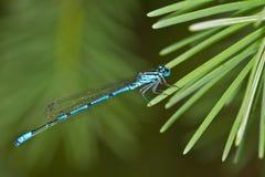 Damselfly blu-munito comune Fotografia Stock