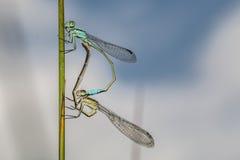 damselfly Blu-munito (elegans di Ischnura) Immagini Stock