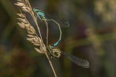 damselfly Blu-munito (elegans di Ischnura) Fotografia Stock