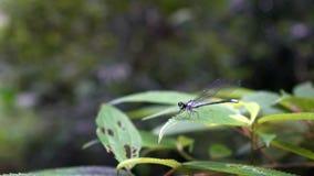 Damselfly blu-munito macro movimento lento, elegans di Ischnura che agitano le sue ali archivi video