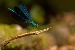 Damselfly blue stock image