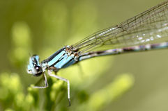 Damselfly. In blue with green Royalty Free Stock Photography