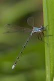 Damselfly Bluet на листьях cattail Стоковое Фото