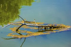 Damselfly on a Branch On A Lake. A reddish damselfly resting on a branch on a calm lake, reflected in the water stock photos