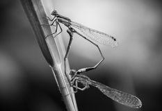 Damselfly breed Stock Photos