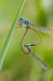 Damselfly breed Royalty Free Stock Photography