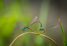 Damselfly breed Stock Photography