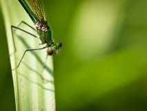 Damselfly Calopteryx Virgo Royalty Free Stock Photo