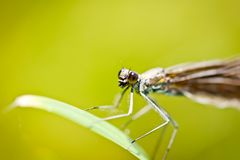 Damselfly Calopteryx Virgo closeup Stock Images