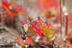 Damselfly caught by carnivorous plant. Damselfly caught by Round-leaved sundew, a carnivorous plant royalty free stock photography