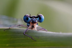 A damselfly Stock Images