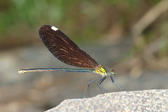 Damselfly Royalty Free Stock Images