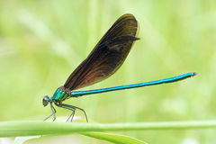 Damselfly. The close-up of a male damselfly. Scientific name: Mnais mneme Stock Image