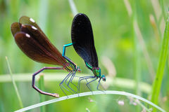 Damselfly. The close-up of a pair of damselfly are mating. Scientific name: Mnais mneme Royalty Free Stock Image
