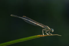 Damselfly Royalty Free Stock Image