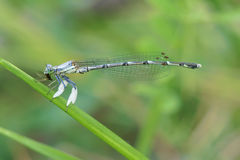 Damselfly. The close-up of a damselfly. Scientific name: Platycnemis foliacea Stock Image