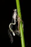 Damselfly (Coenagrion puella). Damselfly birth (Coenagrion puella), shedding skin Royalty Free Stock Images