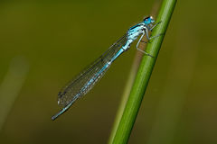Damselfly (Coenagrion puella) Stock Image