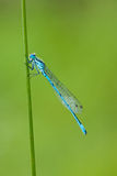 Damselfly - Common Blue (Enallagma cyathigerum) Stock Photography