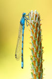 Damselfly Royalty Free Stock Photography