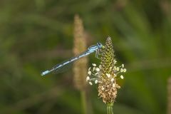 Damselfly commun mangeant le déjeuner le Sussex occidental photo stock