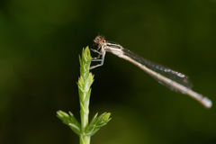 Damselfly consuming an insect Stock Image