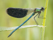 Damselfly covered with dew drops Royalty Free Stock Photo