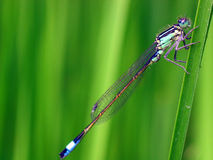 Damselfly d'Azur (puella de Coenagrion) Photographie stock