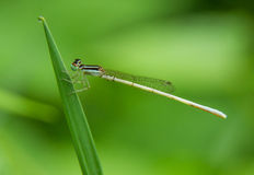 Damselfly. Damselflies are insects of suborder Zygoptera in the order Odonata. They are similar to dragonflies, which constitute the other odonatan suborder Stock Images