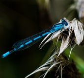 Damselfly. Damselflies are insects of the suborder Zygoptera in the order Odonata. They are similar to dragonflies, which constitute the other odonatan suborder stock images
