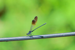 Damselfly. A damselfly stands on electric wire Stock Photos