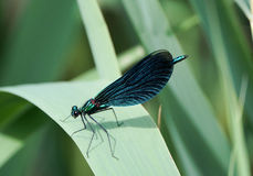 Damselfly dans des lacs parc national, Croatie Plitvice Photo stock