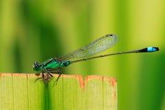 Damselfly de Bluetail fotografia de stock royalty free
