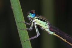 Damselfly de ojos azules Imágenes de archivo libres de regalías